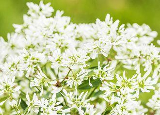 Zauberschnee (Euphorbia 'Diamond Frost')
