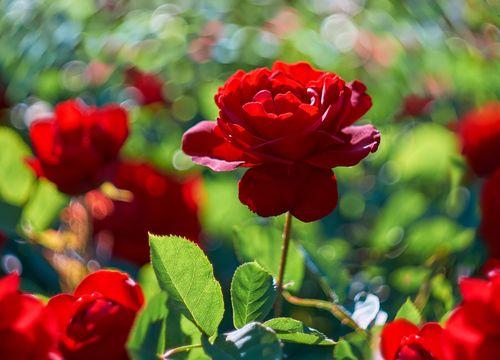 Pflege und Schnitt von Rosen