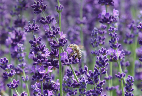 Lavendel - die lila Elite