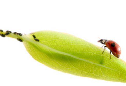 Biologische Blattlausbekämpfung