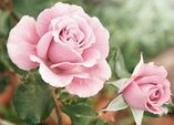 Rosen – wunderbare Vielfalt