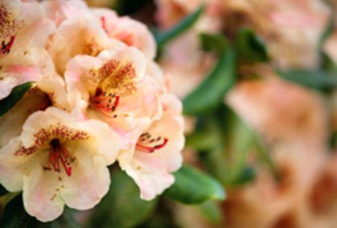 Wissen und Pflege: Der Rhododendron