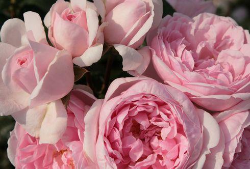 Acht Schritte zu schönen Rosen