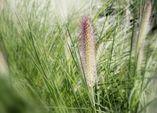 Gräser: Grazile Schönheiten