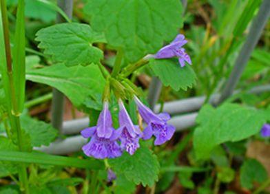 Zeigerpflanze: Gundelrebe