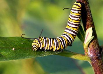 Schmetterlingsraupen