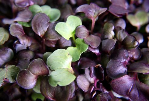 Microgreens- Powerfood von der Fensterbank