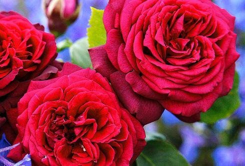 Rosen und ihre Begleitpflanzen