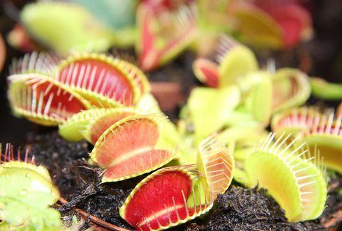 Bio-Insektenbekämpfung: fleischfressende Pflanzen