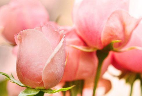Rosen und ihre Symbolik