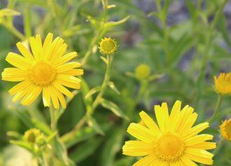 Wildblume Ochsenauge