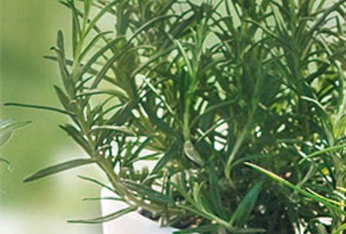 Rosmarin - Heilpflanze des Jahres 2011