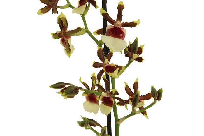 Zahnzungenorchidee