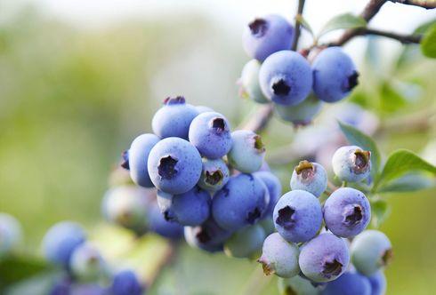 Die blauen Beeren sind wieder da