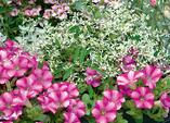 Blütenstars auf dem Balkon