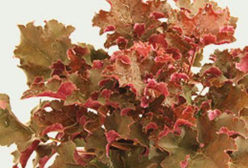 Blattschmuckpflanzen
