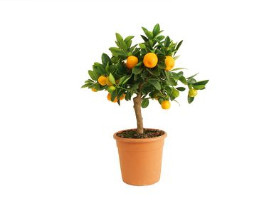 Calamondinorange