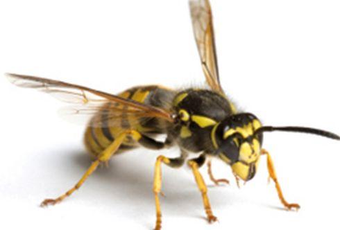 Wespen bekämpfen mit einfachen Tricks