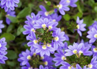 Blaue Fächerblume