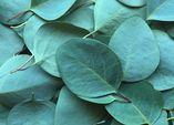 Eukalyptus - der silbergrüne Star aus Down Under
