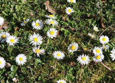 Zeigerpflanze: Gänseblümchen