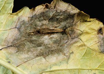 Grauschimmel (Graufäule,  Botrytis)