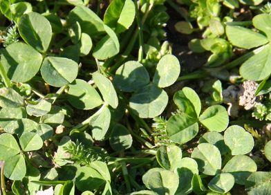 Zeigerpflanze: Kleearten