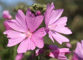 Wildblume Spitzblatt Malve