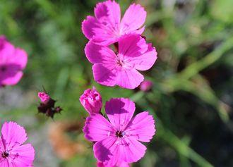 Wildblume Kartäusernelke