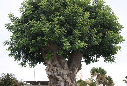 Oliven – Ein Geschenk der Göttin Athene