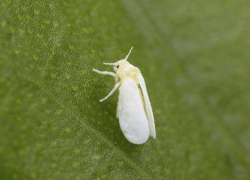 Weiße Fliege