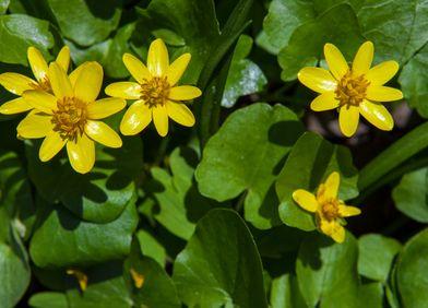 Zeigerpflanze: Scharbockskraut
