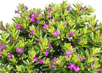 Japanische Myrthe 'Flory Glory' (Cuphea hyssopifolia)
