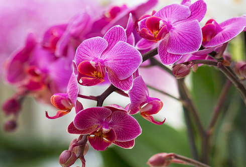 Orchidee: Die Blumenkönigin
