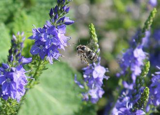 Wildblume Grosser Ehrenpreis