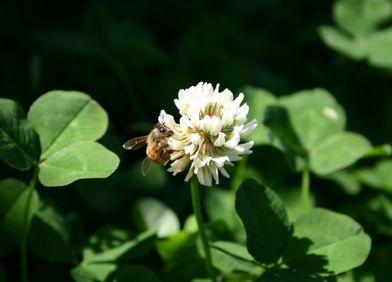 Zeigerpflanze: Weißklee