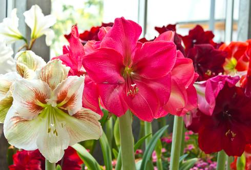 Amaryllis – Blütensterne im Winter