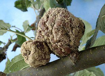 Fruchtfäule (Monilia)