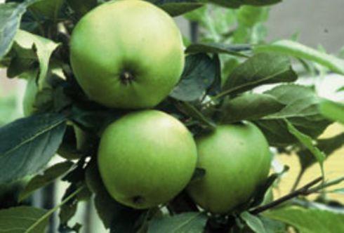 Der Sommerschnitt an Obstgehölzen