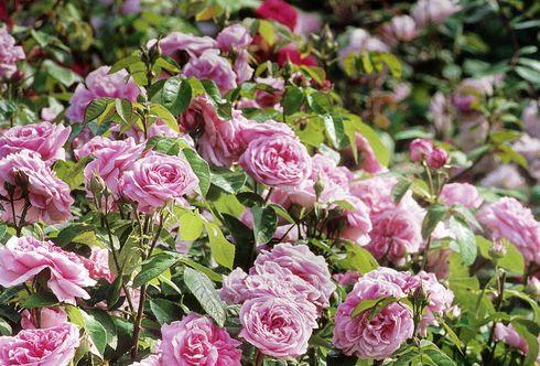 Begleitpflanzen für Rosen - Gehölze als Hintergrund und Rahmen