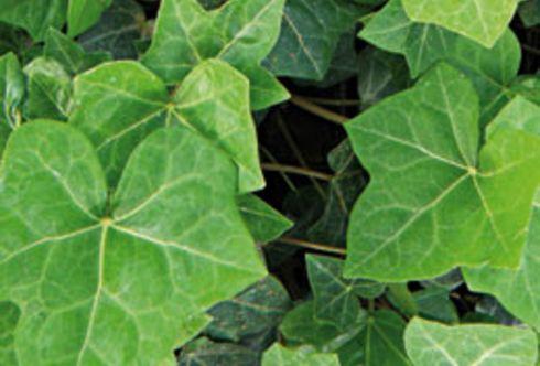 Ruck-Zuck schützt ein Blütenteppich vor Sonne
