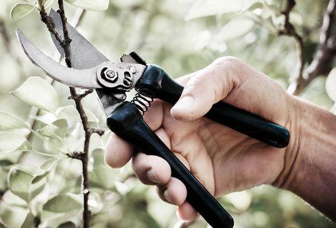 Tipp zum Sommerschnitt bei Obstbäumen