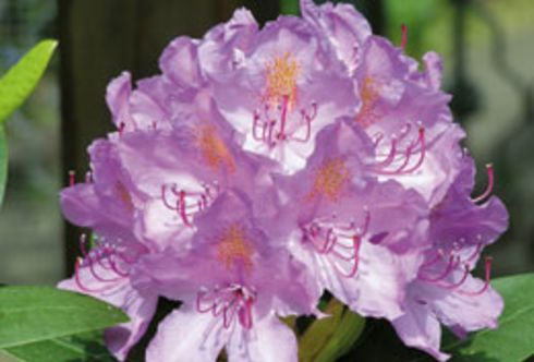 Rhododendren und deren Begleitpflanzen