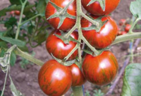 Anti-Aging Tomaten