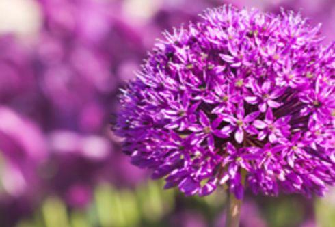 Einfach schöne Blüten - der Zierlauch