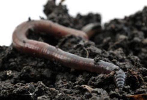 Regenwürmer - Recycling im Gartenboden