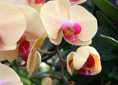 Malaienorchidee