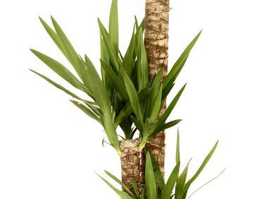 Palmlilien / Yucca