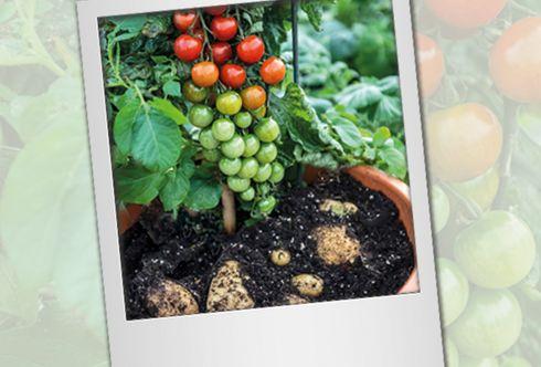 Gemüse-Sensation TomTato