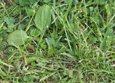 Wildkräuter: Boden-Abmagerung